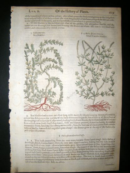 Gerards Herbal 1633 Hand Col Botanical Print. Rubia, Madder | Albion Prints